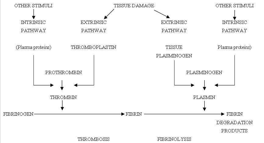 Similarities between the coagulation and fibronolytic cascades (adapted from reference 13)