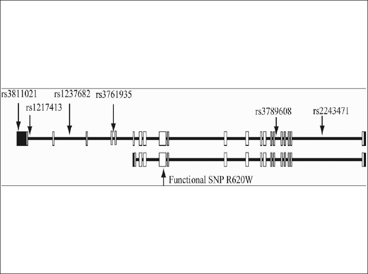 Figure 1 :PTPN22 structure with two transcript isoforms and six single nucleotide polymorphisms