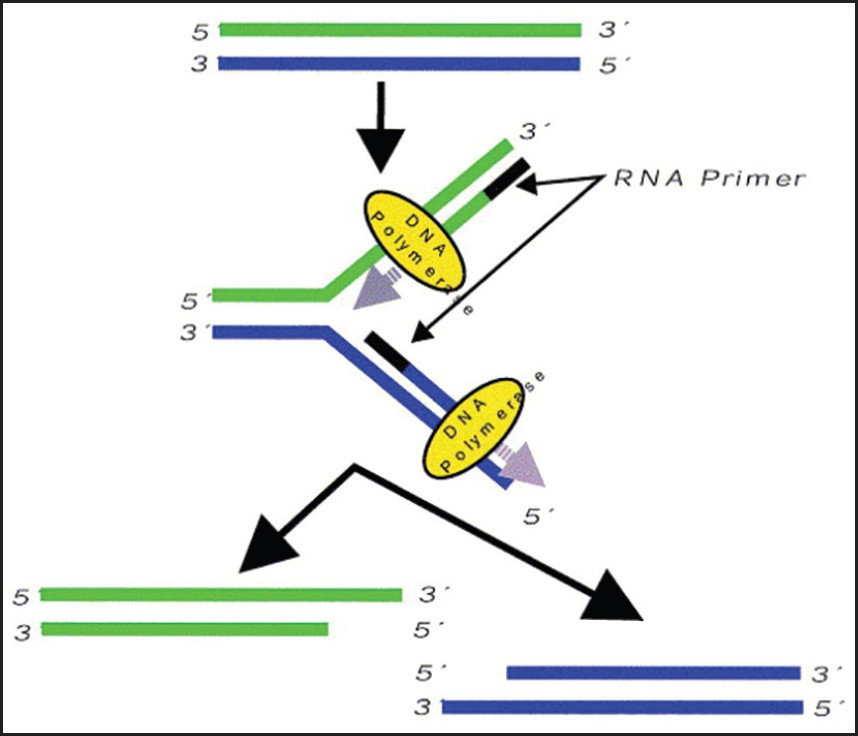 Figure 1: End replication problem of chromosomes. Each round of replication leaves 50-200 base pairs DNA unreplicated at 3' end as terminal RNA primer cannot be replicated which is removed. Each replication hence generates shorter and shorter DNA molecules